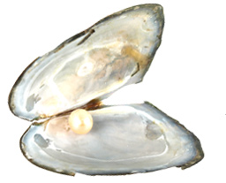Love Pearl in Oyster, Find Your Love Pearl From a Real Oyster, Guaranteed